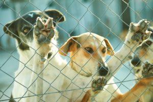 asielhonden