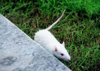 animal testing rat
