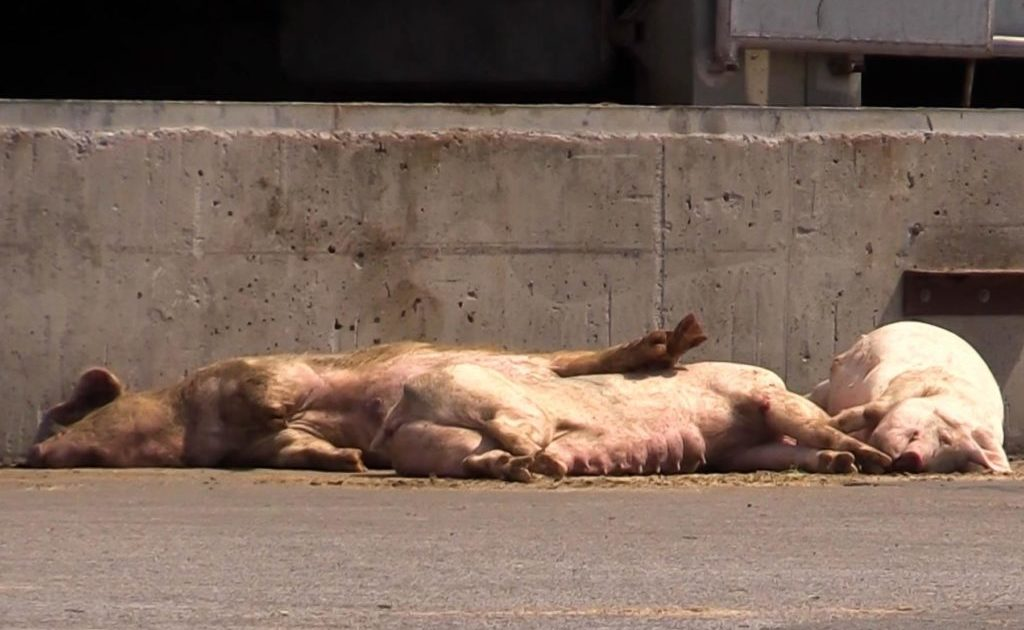 Dode varkens