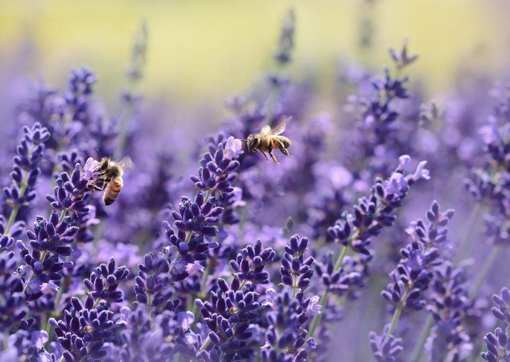 Bijen en lavendel