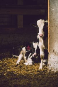 Calves in stable